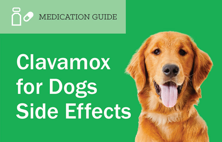 Amoxicillin Side Effects In Dogs