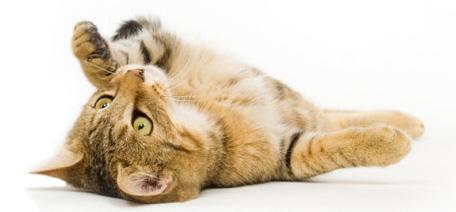 maine coon cat rescue california