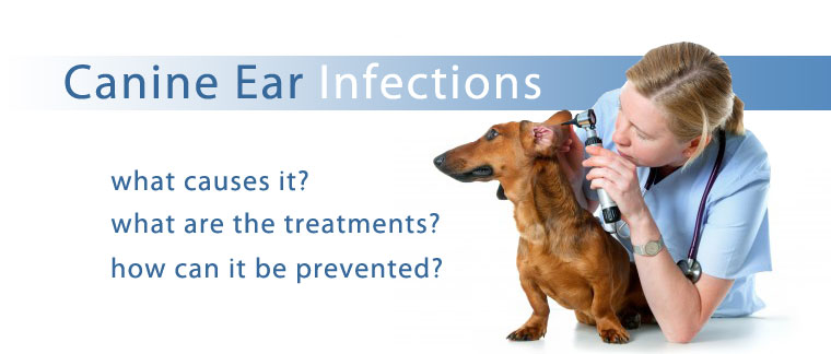 Canine Ear Infections