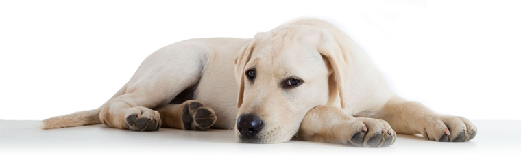 Can Parvo Be Transmitted From Dogs To Humans