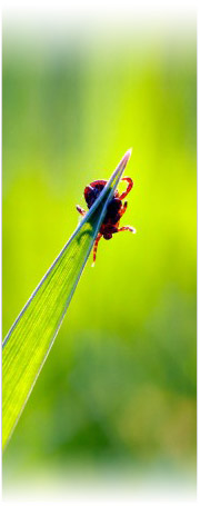 Tick on a blade of grass
